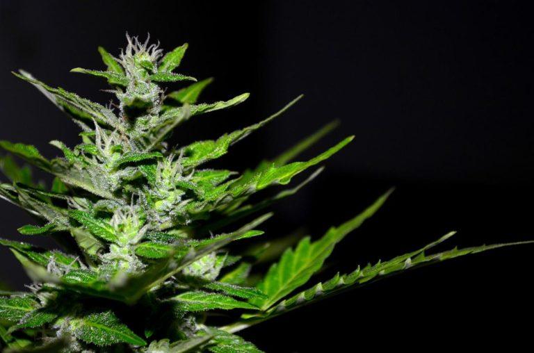 Jak stworzyć warunki do szybkiego wzrostu marihuany?